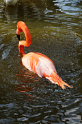 Flamingo Gardens Photography - Enjoying My Swim by Carmen Del Valle