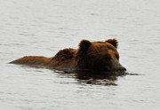 Kodiak Prints - Enjoying the Moment Print by Dennis Blum