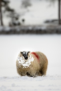 Sheep Prints - Enjoying the snow Print by Angel  Tarantella