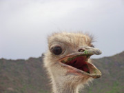 Ostrich Photos - Enough Already by Cheryl Allin