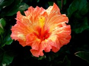 Hibiscus Photos - Enticement by Karen Wiles