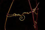 Tendrils Framed Prints - Entwined Framed Print by Armando Picciotto