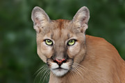 Big Cat Rescue - Enya
