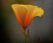 Poppies Art - Ephemeral Poppy by Mike Reid