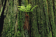Epiphyte Photo Posters - Epiphytic Fern Growing On Redwood Poster by Gerry Ellis