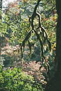 Epiphytic Moss Print by Doug Allan