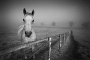 Black And White Horse Framed Prints - Equine Fog Framed Print by Taken with passion