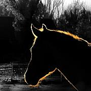 Selective Color Framed Prints - Equine Glow Framed Print by Steven Milner