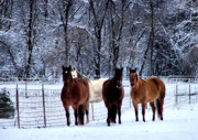 Lincoln City Posters - Equine Winter Poster by Karen M Scovill