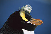 Spheniscidae Photos - Erect-crested Penguin Eudyptes Sciateri by Tui De Roy