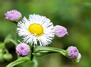 Bloomer Framed Prints - Erigeron Philadelphicus Framed Print by Kristin Elmquist