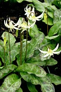 Californian Framed Prints - Erythronium Californicum Framed Print by Bob Gibbons
