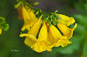 Esperanza - Yellow Bells Print by Marlena  Burger