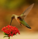 Hummingbird Prints - Estes Park Hummng Bird Print by Don Wolf