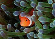 Anemonefish Prints - Eternal Theme Print by Nature, underwater and art photos. www.Narchuk.com