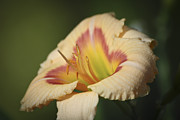 Teresa Mucha - Ethel Brown Daylily 2
