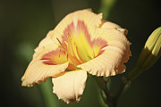Teresa Mucha - Ethel Brown Daylily 4