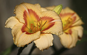 Teresa Mucha - Ethel Brown Daylily 5