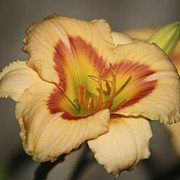 Teresa Mucha - Ethel Brown Daylily Squared 2