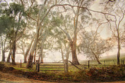 Australian Landscape Prints - Eucalypts in the Mist Print by Mark Richards