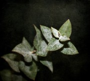 Eucalyptus Digital Art - Eucalyptus  by Cathie Tyler