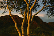 Halls Posters - Eucalyptus Tree At Twilight Poster by Randy Olson