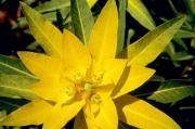 Yellow Flower Posters - Euphorbia wallichii Poster by American School