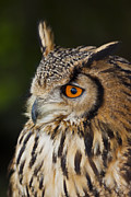 Captive Originals - Eurasian Eagle-owl Bubo bubo by Gabor Pozsgai