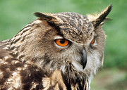 Captive Originals - Eurasian Eagle Owl by Doug Herr