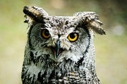 Owl On Head Framed Prints - Eurasian Eagle Owl Framed Print by Weeping Willow Photography