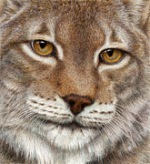 Cats Drawings Metal Prints - Eurasian Lynx Metal Print by Pat Erickson