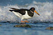 Oystercatcher Framed Prints - Eurasian Oystercatcher Haematopus Framed Print by Do Van Dijck