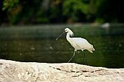 Spoonbill Photos - Eurasian Spoonbill by Nila Newsom
