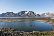 Flock Of Bird Art - Europe, Norway, Spitsbergen, Svalbard, Longyearbyen, Eider Lducks Swimming In Lake by Westend61