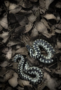 Blooded Prints - European Adder Print by Andy Astbury