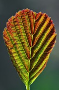 New Britain Framed Prints - European Alder Leaf Framed Print by Colin Varndell