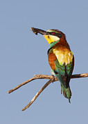 Colorfull Photos - European Bee-eater by Mircea Costina Photography
