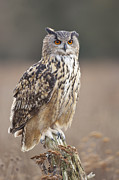 Gloucestershire Prints - European Eagle Owl (bubo Bubo) On Post Print by Nick Cable