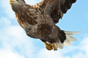 Flying Eagle Prints - European Flying Sea Eagle 2 Print by Heiko Koehrer-Wagner