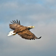 Water Birds - European Flying Sea Eagle 3 by Heiko Koehrer-Wagner