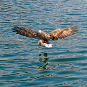 Water Birds - European Flying Sea Eagle 6 by Heiko Koehrer-Wagner