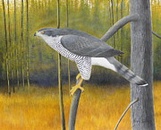Falcon Mixed Media Originals - European Goshawk by Alan Suliber