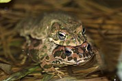 Toads Framed Prints - European Green Toads Mating Framed Print by Photostock-israel