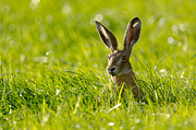Backlit Posters - European Hare Poster by Jeffrey Van daele
