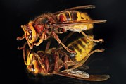 Wing Mirror Photos - European Hornet On A Mirror by Colin Varndell