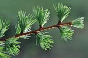 Rain Drop Prints - European Larch Needles Print by Colin Varndell