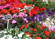 Impatiens Flowers Photos - European Markets - Geraniums by Carol Groenen