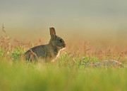 Wild Rabbit Posters - European Rabbit Baby Poster by Wouter Marck Wildlife Photography