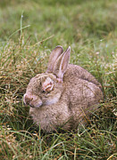 Blind Eyes Prints - European Rabbit With Myxomatosis Print by Bjorn Svensson