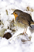Forest Floor Prints - European Robin Print by Duncan Shaw